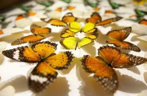 Vài nét về loài bướm