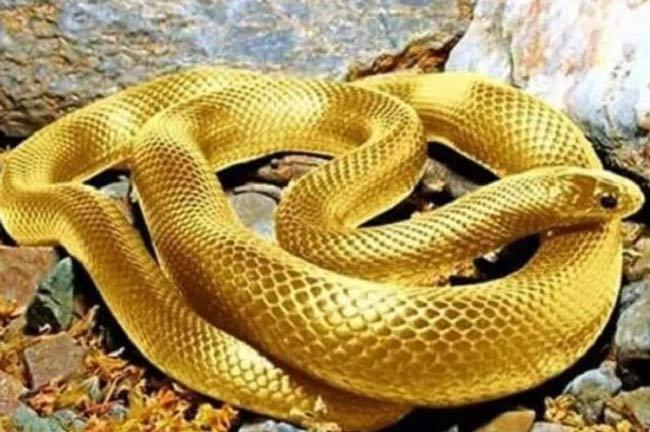 Nằm mơ thấy rắn vàng