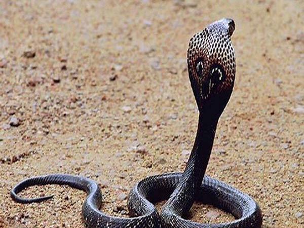Thấy rắn hổ là điềm xấu hay tốt
